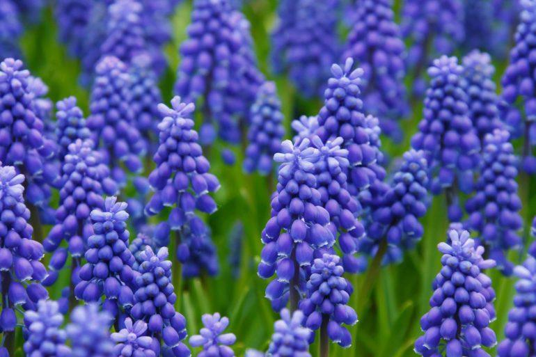 hyacinth-21687_1920